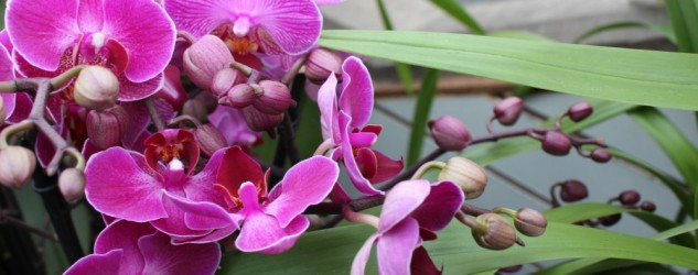 Orchid Show and Festival